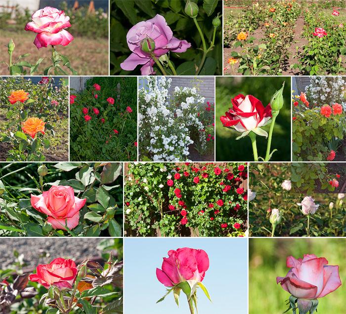 Розы на страусиной ферме
